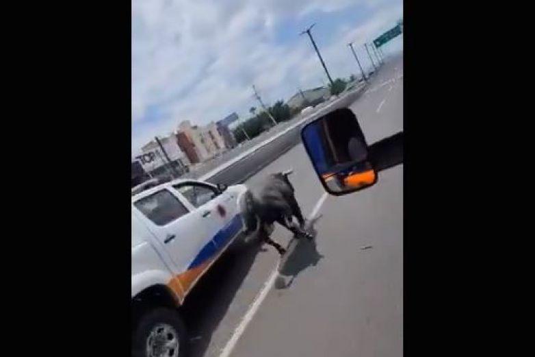 Toro de lidia escapa, y genera persecución en Querétaro