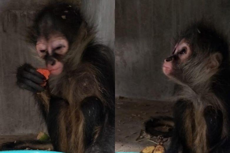Resguardan en el RAMMi a mono araña