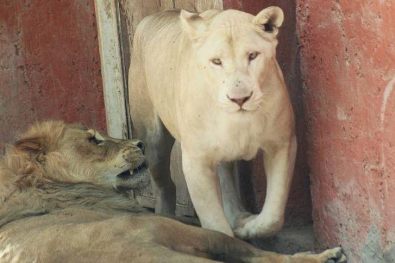 Tendrán sus primeras crías leonas y tigresa de Zoológico San Jorge