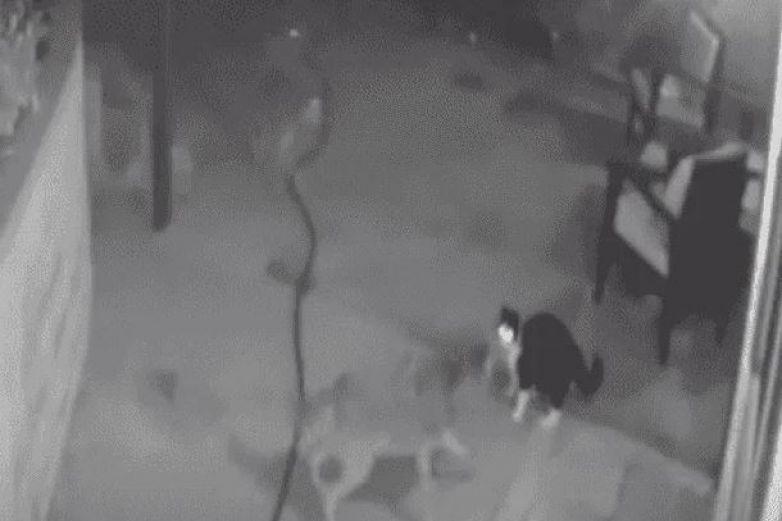Valiente gato se enfrenta a 3 coyotes hambrientos y salva a sus dueños