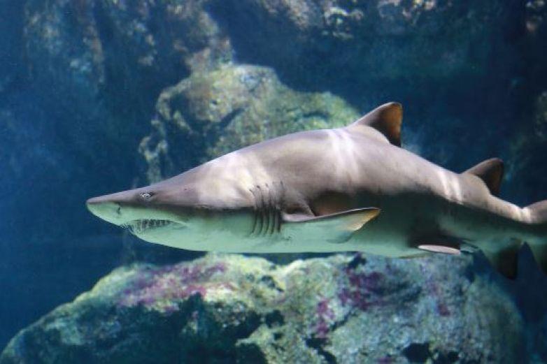 Tiburón blanco da espectacular salto de más de cuatro metros
