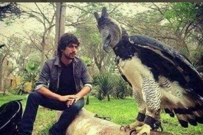 Águila arpía, un ave con tamaño casi humano
