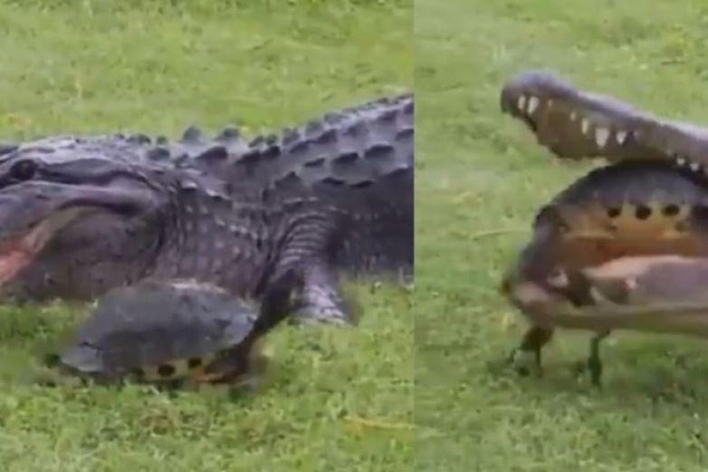 Caimán fracasa al comerse una tortuga y se hace viral