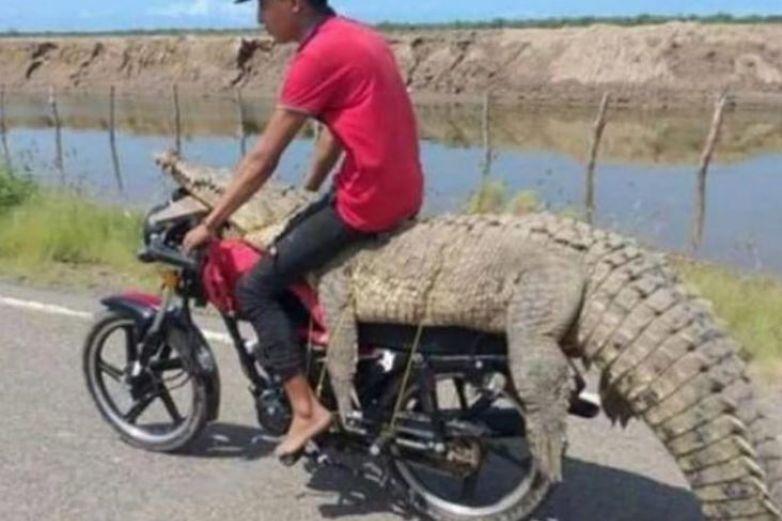 Jóvenes se roban cocodrilo en Sinaloa y se lo llevan en motocicleta