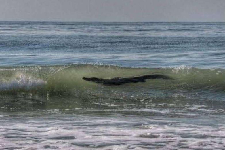 Alertan por avistamiento de cocodrilo gigante en Acapulco