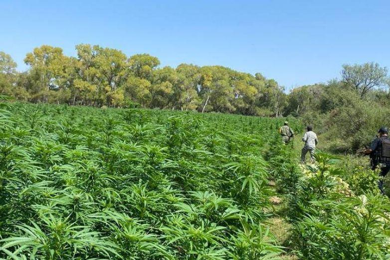 Hallan narcoplantío de 7.6 hectáreas de marihuana en Coronado