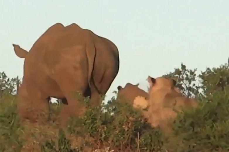 Así protege mamá rinoceronte a su cría del ataque de león hambriento