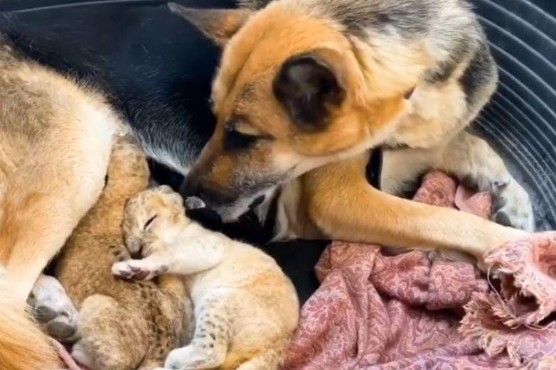 Pastor alemán adopta a dos cachorros de león