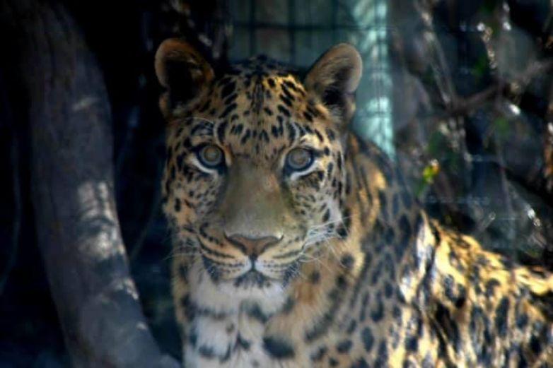 Zoo de El Paso está de luto; muere Iván, su leopardo de 21 años