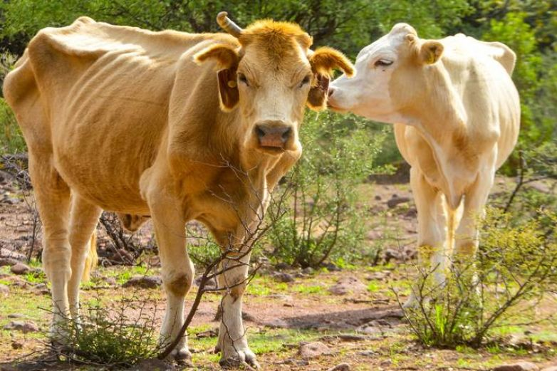 Advierten por 'año de vacas flacas' ante sequía