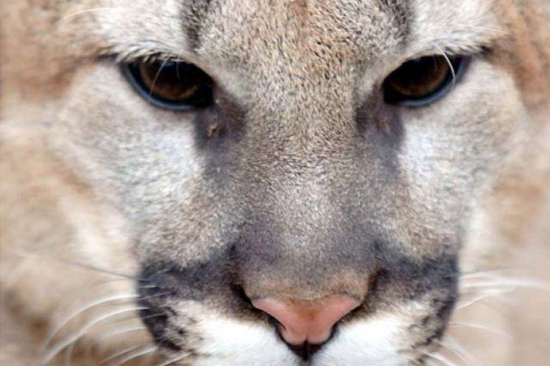 Alerta en Las Cruces por presencia de pumas