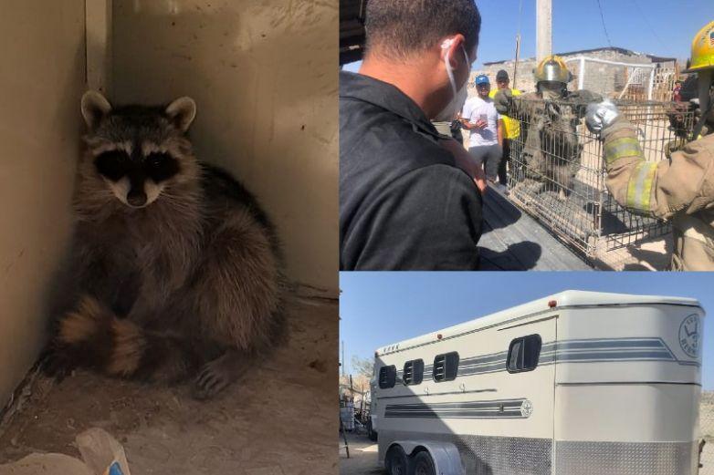 Aseguran mapache que se resguardaba en remolque