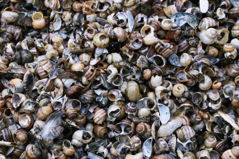 Cambio climático también está afectando las poblaciones de moluscos
