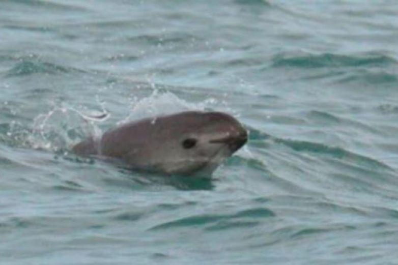 Analizan reducir zona protegida para la vaquita marina