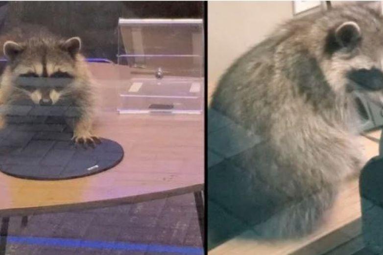 Par de mapaches irrumpen en un banco