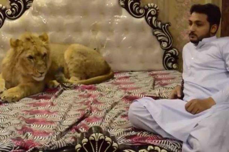 Este hombre tiene un enorme león como mascota (Video)