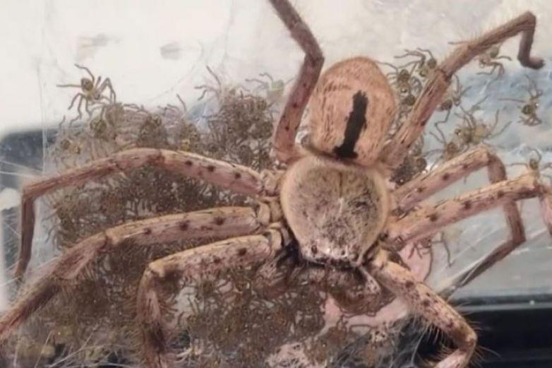 Video: Mujer ayuda a araña gigante a dar a luz a 200 crías