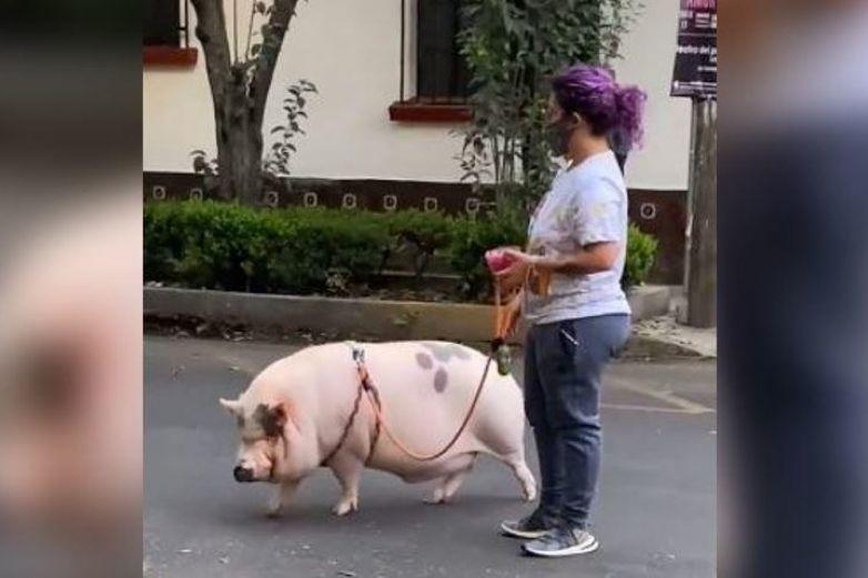 Video: Captan a mujer paseando a cerdo en calles de la CDMX