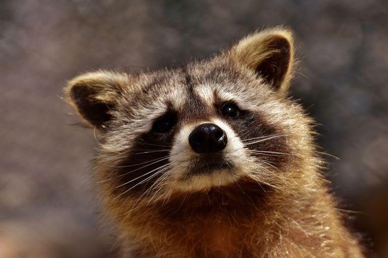 Capturan a mapache robando y 'se avergüenza'