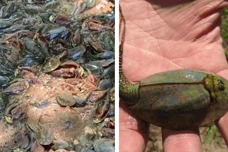 Video: Se seca lago en EP y revela crustáceos prehistóricos